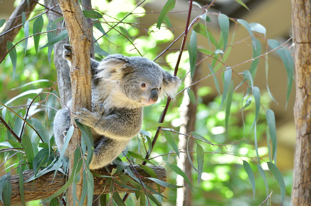 Koala Shutterstock 1605748642 Low Res